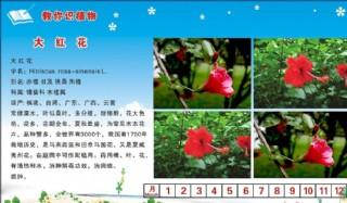 大紅花圖片
