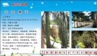 大王椰子圖片